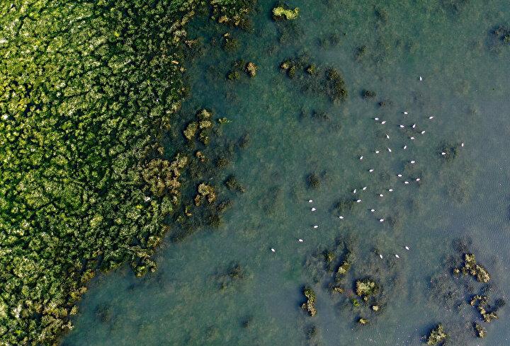 İzmir'de su kirliliği ispatı: Deniz marulu yayılıyor
